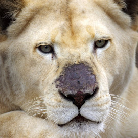 Old Whilte Lioness by Ingrid Anderson-Riley - Animals Lions, Tigers & Big Cats