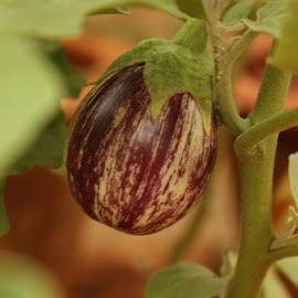 First harvest of a Brinjal by Lakshmi Sharoff - Nature Up Close Gardens & Produce ( macro, nature, brinjal, harvest, garden )