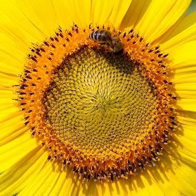 BEE-utiful by Rob King - Flowers Single Flower ( bee, beautiful, sunflower, beauty in nature, beauty, yellow, sun, growth )
