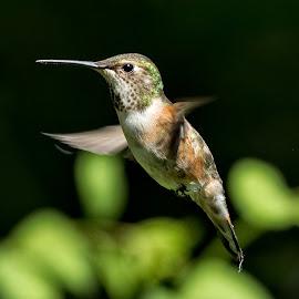 Rufous Hummingbird by Sheldon Bilsker - Animals Birds ( bird, nature, hummingbird, animal )