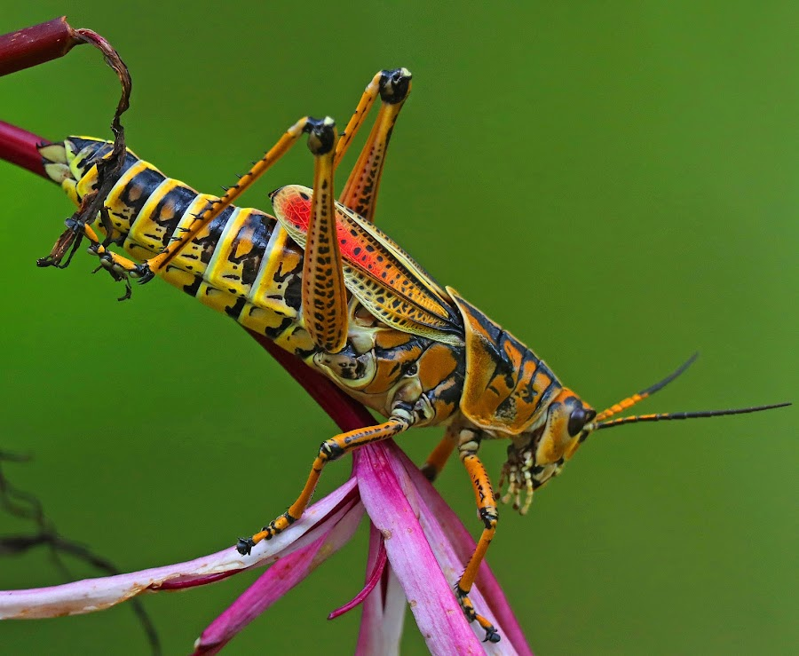 Lubber Grasshopper by Anthony Goldman - Animals Insects & Spiders ( gardens, nature, florida, bok tower, insect, grasshopper, lubber, wild, lake wales, wildlife,  )