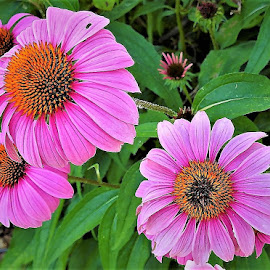 Coneflowers by Mary Gallo - Flowers Flower Gardens ( flowers, nature, coneflowers, nature up close, pink coneflowers )