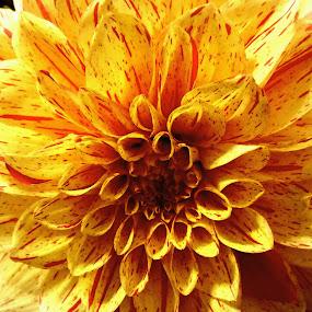 Sunburst by Nancy Tonkin - Flowers Single Flower (  )