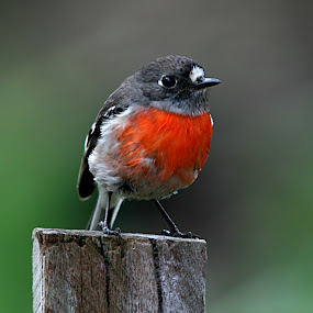 Robin by William Greenfield - Animals Birds ( bird, robin, red, post, nature, wildlife )