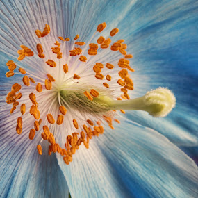 Blue Poppy by Bonnie Rovere - Nature Up Close Flowers - 2011-2013 ( blue, poppy, flower )