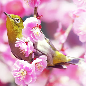 white eye by Indra Fardhani - Animals Birds (  )