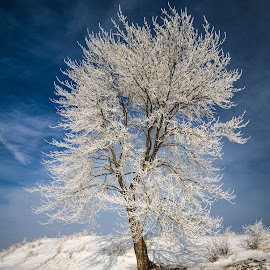 Frozen tree by Donea Razvan - Landscapes Forests ( winter, tree, snow, forest, frozen )