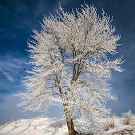 Frozen tree by Donea Razvan - Landscapes Forests ( winter, tree, snow, forest, frozen )
