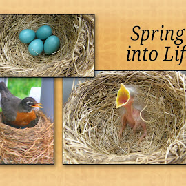 Spring into Life by Rita Goebert - Typography Captioned Photos ( springtime; may; robin's eggs; blue; robin; baby robin; progression; new life; baby robin; mother robin;ronks; pennsylvania; beacon hill rv resort )