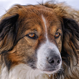 Sage - English Shepherd - 0113 by Twin Wranglers Baker - Animals - Dogs Portraits (  )