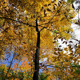 by Kathy Kehl - Nature Up Close Trees & Bushes ( tree, yellow leave, trees, yellow, leaves )