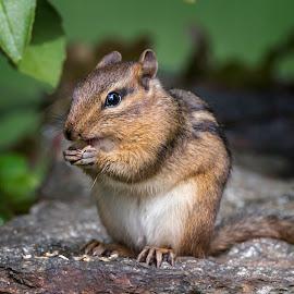 Chipmunk Eating by Sue Matsunaga - Animals Other Mammals