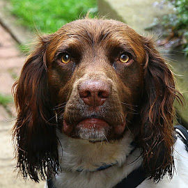 Serious Beano by Chrissie Barrow - Animals - Dogs Portraits ( white, portrait, eyes, springer spaniel, damp, pet, ears, fur, brown, wet, dog, nose, tan )