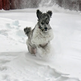 Snow Day by Tony Austin - Animals - Dogs Running ( playing, poodle, jumping, pet, snow, dog, running )