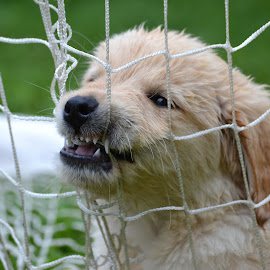 Soccer pup by Isabelle Largen - Animals - Dogs Puppies