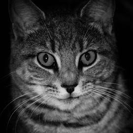 by Sue Magoon - Animals - Cats Portraits