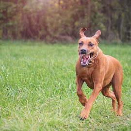 Honey by Jiri Cetkovsky - Animals - Dogs Running ( ridgeback, girl, play, run, dog, honey )