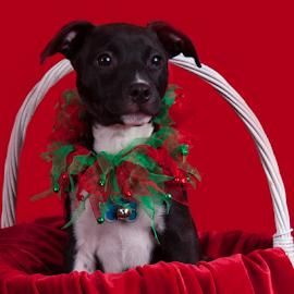by Myra Brizendine Wilson - Animals - Dogs Portraits ( canine, pet, dog, animal )