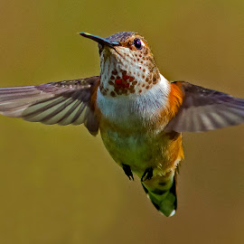 Hovering Male Rufous Hummingbird by Sparty Rodgers - Animals Birds ( bird, western washington state, d800, hummingbird, avian species, 600mm f5.6 ais, rufous hummingbird, pacific northwest )