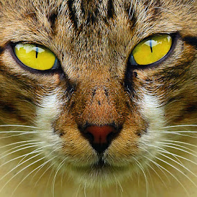 by Yan Abimanyu - Animals - Cats Portraits