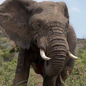 Africa Elephant by Danette de Klerk - Animals Other Mammals ( elephant park, nature reserve, elephant, big 5, africa,  )