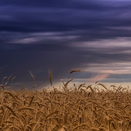 Purple and Gold by Silvana Baumann - Landscapes Prairies, Meadows & Fields ( field, purple, color, cloud, gold, sunrise )