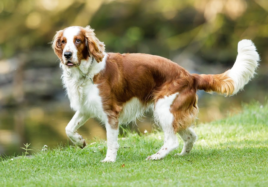Spaniel in the park by Edwin Godinho - Animals - Dogs Portraits ( uk, animals, dogs, gun dog, spaniel, brown and white, surrey, portrait,  )