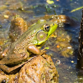 Young Bullfrog by Robert George - Animals Amphibians