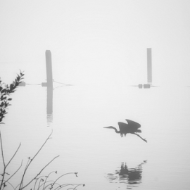 Heron  by Todd Reynolds - Black & White Animals