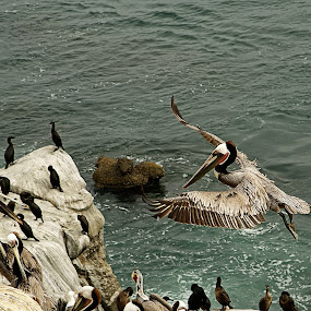 Landing Zone by Dave Files - Animals Birds ( water, animals in motion, brown pelican, pwc76, rocks, pelican, animal, motion )