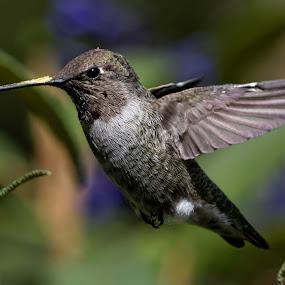 Pollinating Hummer by Raphael RaCcoon - Animals Birds ( bird, hummingbird )