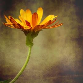 Calendula by Deborah Lister - Digital Art Things ( orange, calendula, art, daisy, yellow, flower )