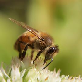 #bee by Baggelis Karaliolios Zerofive - Animals Insects & Spiders