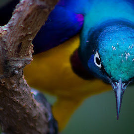 Who is Looking at Who by LJ Ethier - Animals Birds ( bird, avian, blue, stare, animal )