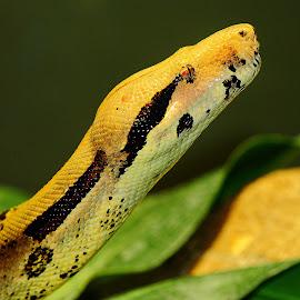 Boa by Gérard CHATENET - Animals Reptiles