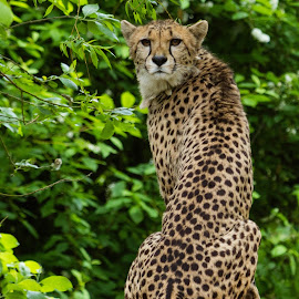 Cheetah by Andrew Moore - Animals Lions, Tigers & Big Cats