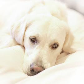 BELLA BELLA by Wayne Brown - Animals - Dogs Portraits ( cat, puppy, dog, retiever, golden )