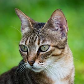 by Simona Susino - Animals - Cats Portraits (  )