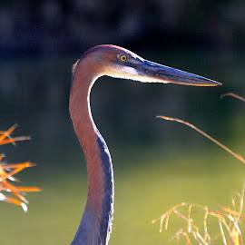 Goliath  by Christo W. Meyer - Novices Only Wildlife ( bird, goliath heron )