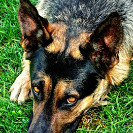 Ares by Željko Salai - Animals - Dogs Portraits