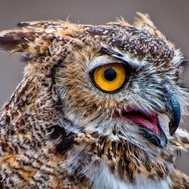 Great Horned Owl by Cameron Knudsen - Animals Birds ( knudsen outdoors, cameron knudsen, owl eyes, wildlife, birds, great horned owl, knudsen photography, nature, knudsen, utah, owl, antelope island, wild anamils )