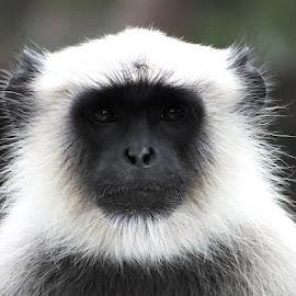 Monkey by Prakash Balge - Animals Other Mammals ( face, mammal, portrait, monkey, animal )
