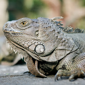 Iguana by Roland Roger - Animals Reptiles ( wild, other, iguana, reptile, animal )