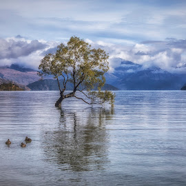 Wanaka Tree by Ian Pinn - Landscapes Waterscapes ( clouds, wanaka, tree, ducks, lake, new zealand )