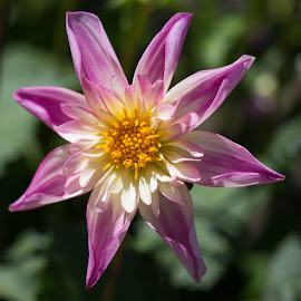 by Janet Marsh - Flowers Single Flower ( pink and white, dahlia,  )