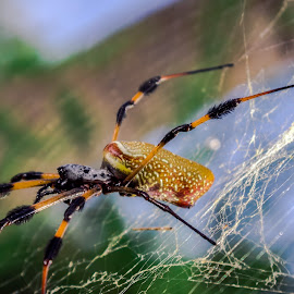 Golden Orb Weaver by Robert Sellers - Animals Insects & Spiders ( webs, arachnids, spiders, orb, weaver, arachnid, web, spider, insects, insect, golden )