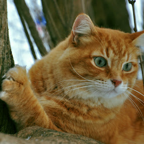 Pumpkin  by Debbie Johnson MacArthur - Animals - Cats Portraits ( cats )