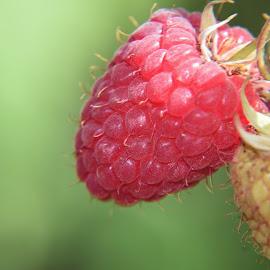 my raspberry by LADOCKi Elvira - Food & Drink Fruits & Vegetables ( raspberry )