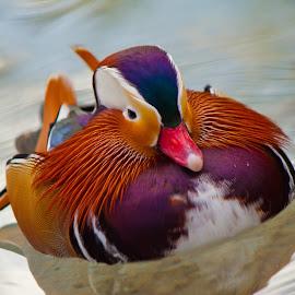 Mandarin Duck by Jeff McVoy - Animals Birds ( water, bird, fowl, water fowl, mandarin duck, colorful, bright, mandarin, duck )