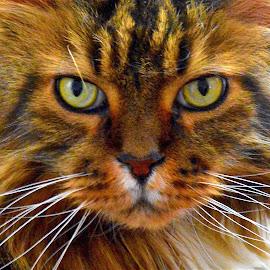 by Doug Hilson - Animals - Cats Portraits (  )